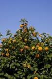 Fleurs de Lantana Photos libres de droits
