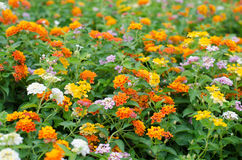 Fleurs de Lantana Photo stock