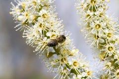 Fleurs de laurocerasus de Prunus Photographie stock libre de droits