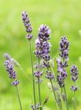 Fleurs de lavande Photographie stock libre de droits