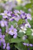 Fleurs de lavande images stock