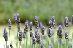 Fleurs de lavande Photographie stock