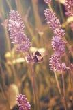 Fleurs de lavande avec l'abeille recueillant le pollen Photographie stock libre de droits