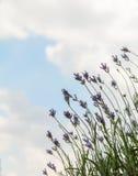 Fleurs de lavande contre le ciel Fond de ville d'été Photo libre de droits