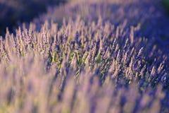 Fleurs de lavande dans des Frances de la Provence Images libres de droits
