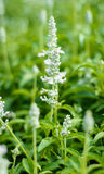 Fleurs de lavande de l'Asie Photographie stock