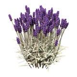 fleurs de lavande du rendu 3D sur le blanc Images stock