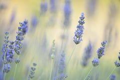 Fleurs de Lavander Photo stock