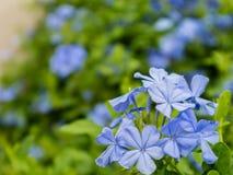 Fleurs de Leadwort Photographie stock libre de droits