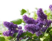Fleurs de lilas Photos stock
