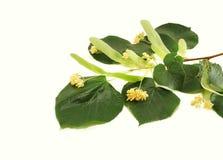 Fleurs de limette Photographie stock