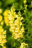 Fleurs de Linaria vulgaris sur le fond vert images stock