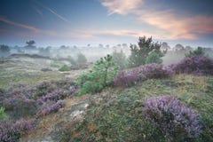Fleurs de Ling sur des collines dans le matin brumeux photographie stock libre de droits