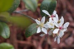 Fleurs de lis blanc de Pâques dans le jardin Images stock