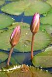 Fleurs de lis d'étang photographie stock libre de droits