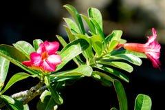 Fermez Vous De La Fleur Rose Azalee De La Thailande Image Stock