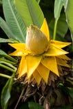 Fleurs de lotus étonnantes Les grandes fleurs de lotus jaunes, Thaïlande Photos libres de droits