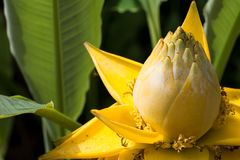 Fleurs de lotus étonnantes Les grandes fleurs de lotus jaunes, Thaïlande Photos stock