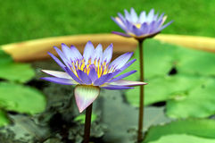 Fleurs de Lotus Photo libre de droits