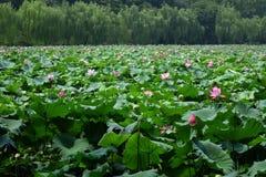 Fleurs de Lotus avec des saules Photo libre de droits