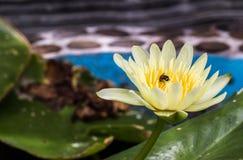 Fleurs de lotus blanc Image stock