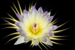 fleurs de lotus blanc pourpre d'isolement sur le fond noir Image libre de droits