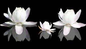 Fleurs de lotus d'isolement Photos stock