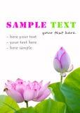 Fleurs de Lotus d'isolement Images stock