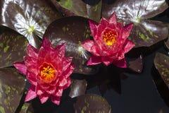 Fleurs de Lotus dans l'étang Image stock
