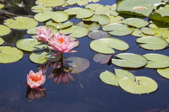 Fleurs de Lotus dans l'étang Photo libre de droits