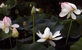 Fleurs de Lotus dans un étang Images stock