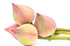 Fleurs de lotus de bourgeonnement roses Photographie stock libre de droits