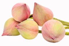Fleurs de lotus de bourgeonnement roses Image libre de droits