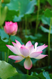 Fleurs de lotus de floraison Photo stock