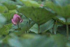 Fleurs de Lotus des jours pluvieux d'été Image libre de droits
