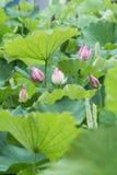 Fleurs de Lotus des jours pluvieux d'été Image stock