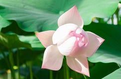 Fleurs de Lotus en serre chaude image libre de droits