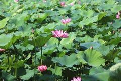 Fleurs de Lotus fleurissant dans l'étang Photographie stock