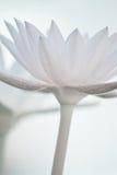 Fleurs de lotus molles Image libre de droits