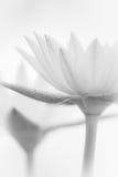 Fleurs de lotus molles Photographie stock