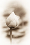 Fleurs de lotus molles Photographie stock libre de droits