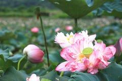 Fleurs de Lotus de pivoine fleurissant dans l'étang Image stock