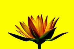 fleurs de lotus polychromes Photos libres de droits