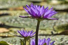 Fleurs de lotus pourprées Photos libres de droits