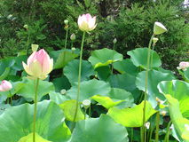 Fleurs de lotus roses Photographie stock libre de droits