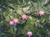 Fleurs de lotus roses ou feuilles roses de nénuphar et de vert dans l'étang images libres de droits