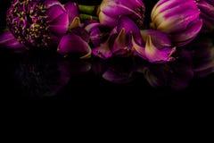 Fleurs de Lotus sur un fond noir avec la réflexion Images libres de droits