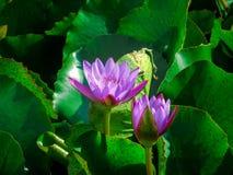 fleurs de lotus violettes dans un étang entouré par les feuilles vertes images libres de droits