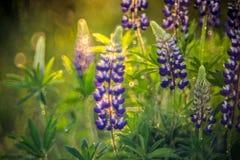 Fleurs de loup photographie stock