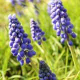 Fleurs de loup bleues Photographie stock libre de droits